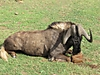 Black_Wildebeest_-_Copy.jpg