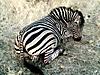 Burchells_Zebra.jpg