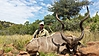 Greater_Kudu1.jpg