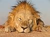 Lion_12.jpg