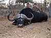 buffalo-hunt5.jpg