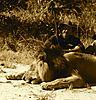 chasse-lion-tanzanie.jpg