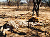 cheetah_hunting-04.jpg