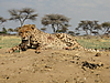hunting-cheetah-012.JPG