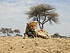 hunting-cheetah-052.JPG