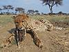 hunting-cheetah-09.JPG