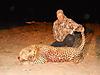hunting-leopard-037.JPG