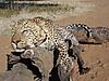 hunting-leopard-064.JPG