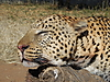 hunting-leopard-072.JPG