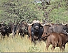 Cape_buffalo6.jpg