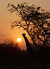 SunGiraffe.jpg