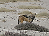 black-backed_jackal1.JPG