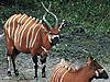 bongo-central-africa.jpg