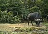 buffalo12.JPG