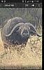 buffalo13.jpg