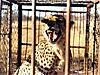 cheetah-05.jpg