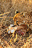 cheetah-hunting-05.jpg