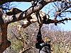 hunting-leopard-bait.JPG