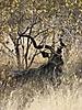 kudu7.JPG