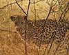 leopard-namibia.JPG