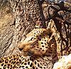 leopard10.jpg