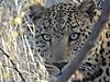 leopard110.JPG