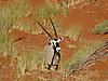 oryx_in_Kalahari_sand.JPG