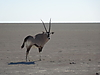 oryx_on_the_Etosha_pan.JPG