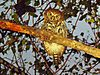 pearl-spotted-owl.jpg