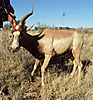 yellow_blesbuck_ram_3GwildLifeAuction_South_Africa.jpg