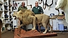 Lion_trophy_almost_complete_at_taxidermist.jpg