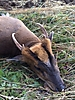Muntjac_close_up.jpg