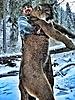cougar-hunt-canada-03.jpg