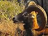 hunting-mouflon.jpg