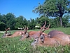 roe-deer-hunting-260gr-280gr-290gr.jpg