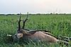 roe-deer-hunting-320gr.jpg