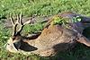 roe-deer-hunting-450gr.jpg