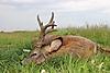 roe-deer-hunting-500gr.jpg