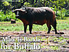 Mba-is-banda-for-buffalo.jpg