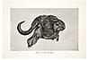 buffalo-caffer.png
