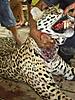 jaguar-man-eater-2.jpg