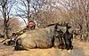 blue_wildebeest13.JPG