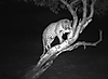 leopard-hunt-namibia2.JPG