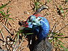 hunting-guineafowl-06.JPG