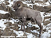 bighorn-sheep-bowhunting-vitals.jpg