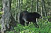 Black_Bear_1.jpg