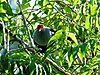 Seychelles-Blue-Pigeon-1.jpeg