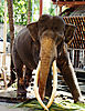 asian-temple-elephant.jpg