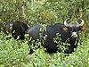 bison-gaur-india.jpg