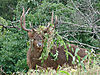 th_4Stags-2.jpg